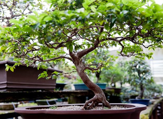 Bonsai como comprar cultivar cuidar e regar italian for Como cultivar bonsais
